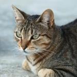 tabby katt