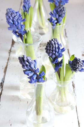 Hyacint blå_Blomsterfrämjandet