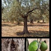 Julklappstips_olivträd
