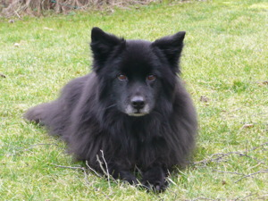 Cesko, nybliven elitlydnadshund