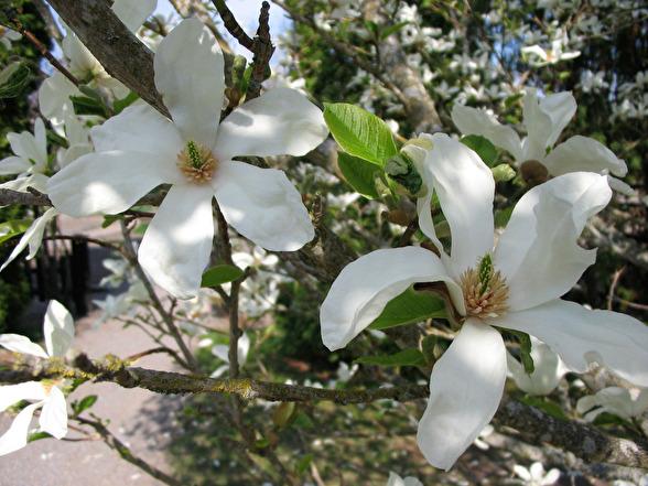 Magnolia kobus, japansk magnolia