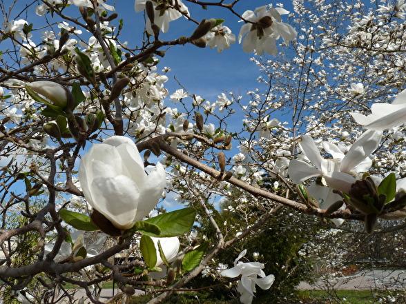 Magnolia x loebneri 'Merrill', hybridmagnolia