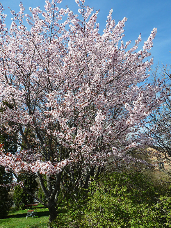 Prunus sargentii, bergskörsbär i flerstammig form