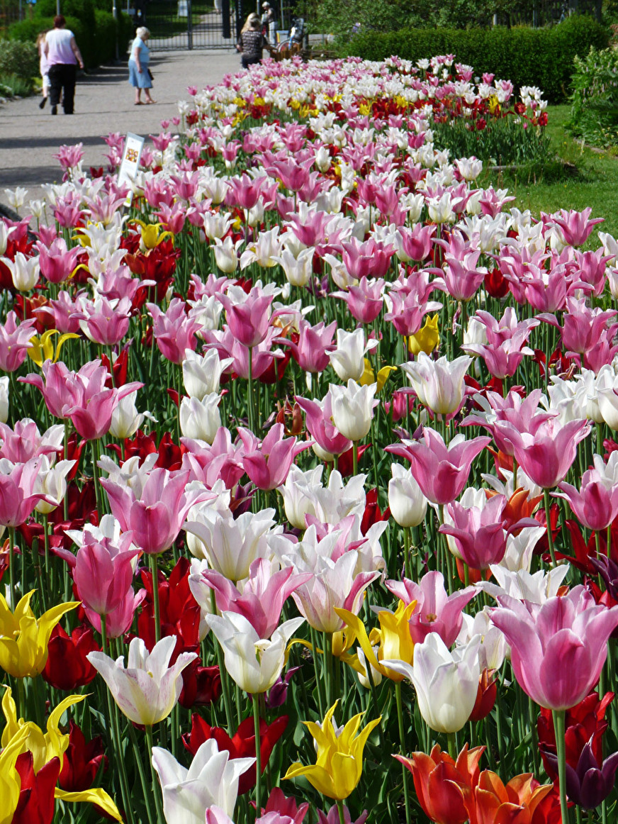 Massplantering av liljetulpaner i Botaniska trädgården, Uppsala.