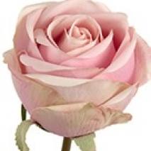 Ros - Rosa