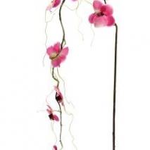 Phalaenopsis - Rosa