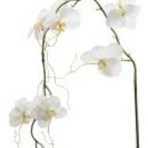 Phalaenopsis - Vit