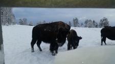 Bison i snön