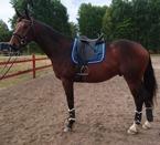 Hela sommaren följde jag denna fina ZAKO D. Men tyvärr blev det inte han som skulle vara min nya häst.