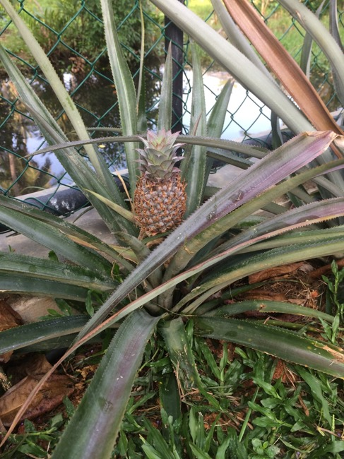 Första ananasen, välkommen!