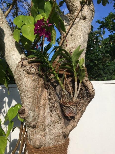 Orkiden trivs i trädet vid duschen.
