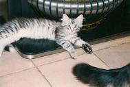 N Silver Santana av Myre som kattunge, född 1996