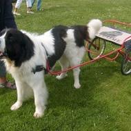 Lillen drar vagn Hundens dag 21 maj