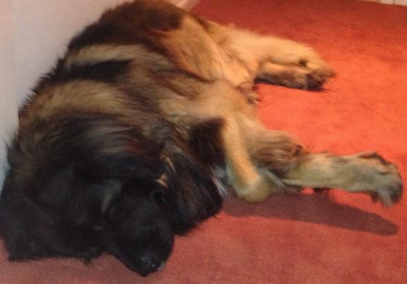 Laban sover, Laban sover i sitt lugna bo............
