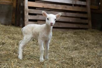 Ett av våra lamm av trasen Texel. Välkommen att besöka oss och våra lamm här på Dönardalen i Våxtorp mellan Laholm & Vallåsen.