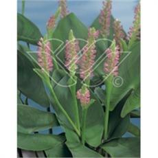 vattenväxter pontaderia rosa, dammväxter, sumpväxter, bygga damm, oase
