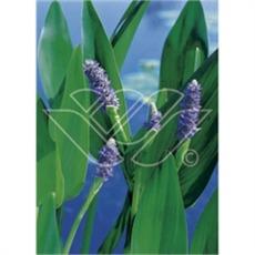 vattenväxter pontaderia, sumpväxter, dammväxter, bygga damm, oase