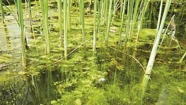 Oase algbekäpning i trädgårdsdammen , alger i dammen