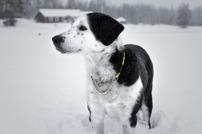 hund, Kajsa, veterinären i Stallarholmen
