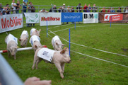 And of course... the highlight of the day - the pig race!