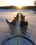 Siberian Husky-Draghund nr 780