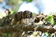 Pärluggla ungar
