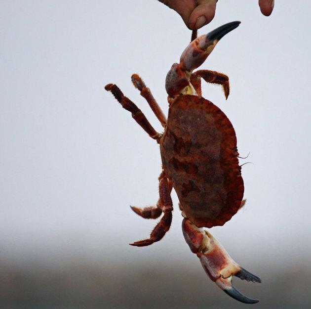 Hopfällbara krabburar har jag ombord och vid vistelse i rätta farvatten brukar frukosten bestå av nykokt krabba!!