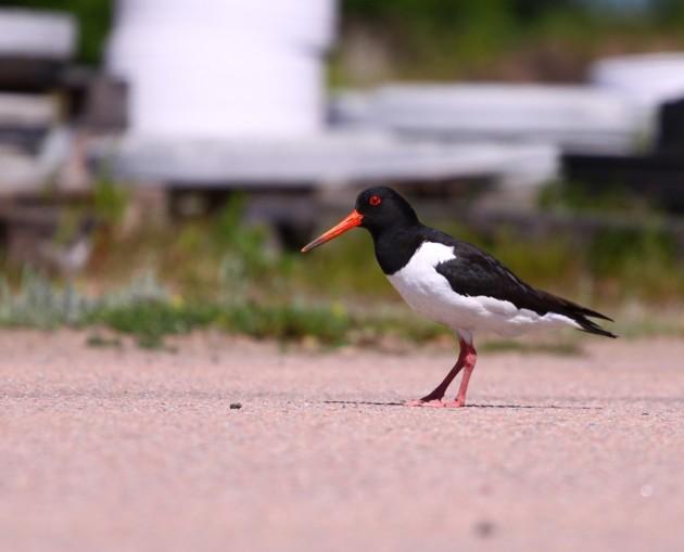Visst är det en vacker fågel.