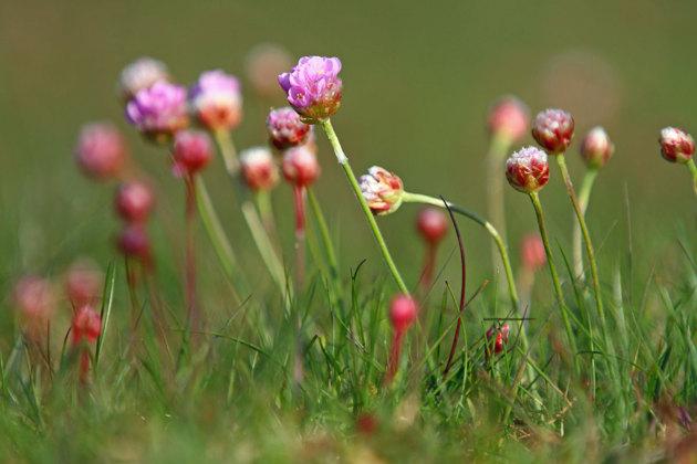 Triftens blommning drar nog igång i veckan på allvar.