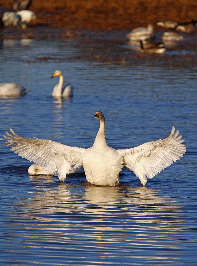 Kramas...eller är det våren svanen vill omfamna