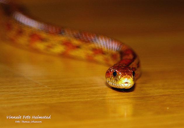 Den här bilden tog jag liggande på golvet med ormen ringlande mot mig....men enligt djurägarna äter majsormarna bara möss...hmmmm