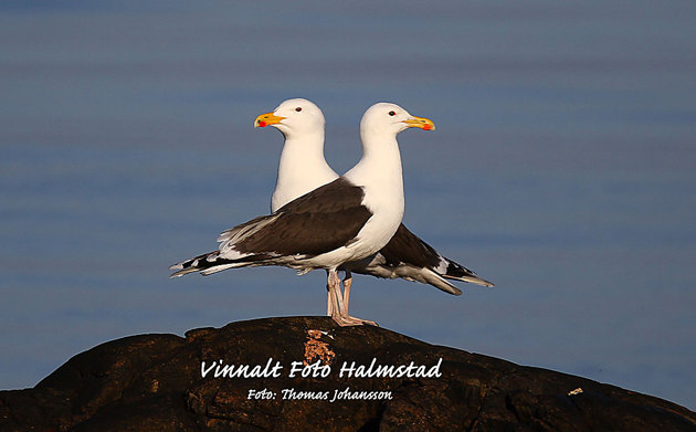 Two head seagull whit four feet..... hmmm