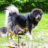Simus 1,5 years old