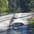 No wonder the dogs started to bark - a pig at our road. april 14