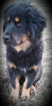 Bod Khyi Sierras Tsho Koori. 4 months old. Thanks Anna for the picture!