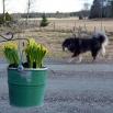 Aquila and daffodils P1550146