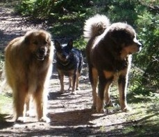 Bod Khyi Skarma Herkules to the right. Thanks tp Lars Zimmerman foor this picture! Here Herkules/Magnus is 4,5 years old
