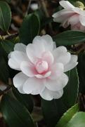 Camelliaolja