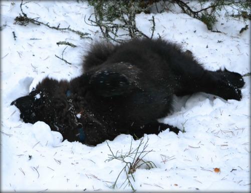 Priscilla älskar snön