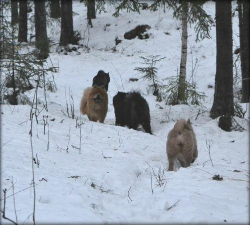 Dylan, Donna, Priscilla och Nova på skogspromenad med husse.