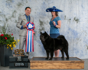 Ch Commitment's Style In Play aka Atticus was No: 1 chow in Canada in 2015. He has also american championship, Grande Excellent titel and one BIS placement. Owner: Monica Oosterman, Ontario