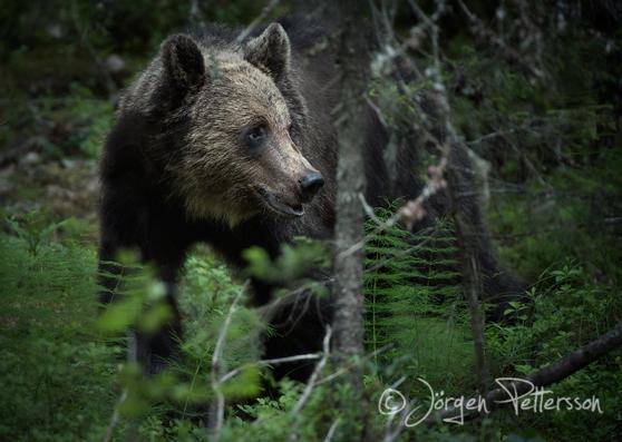 Brunbjörn, Brown bear, Ursus arctos.