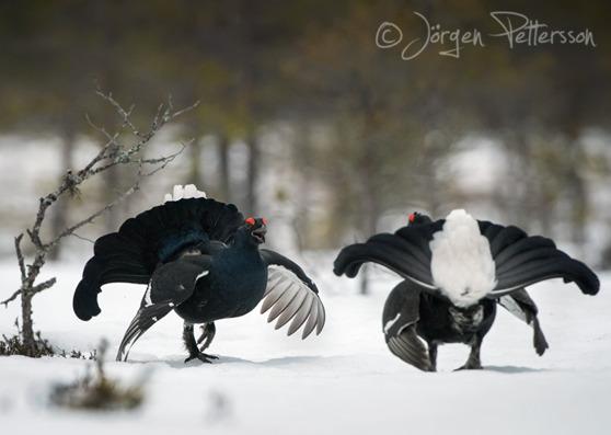 Orre, Black Grouse, Lyrurus tetrix