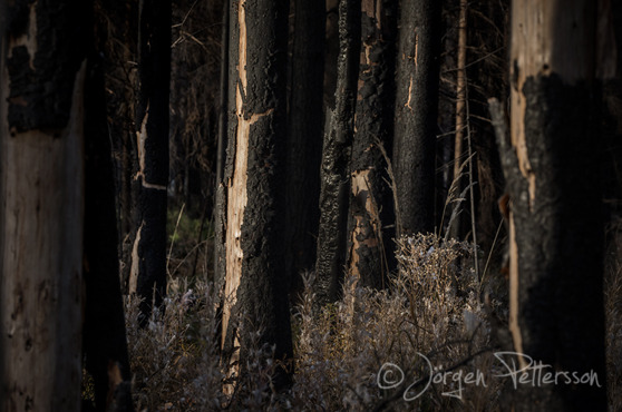 Hälleskogsbrännan - Naturreservat