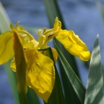Mörrum Liljorna i blom