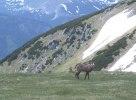 Gemsspaning i Österrike