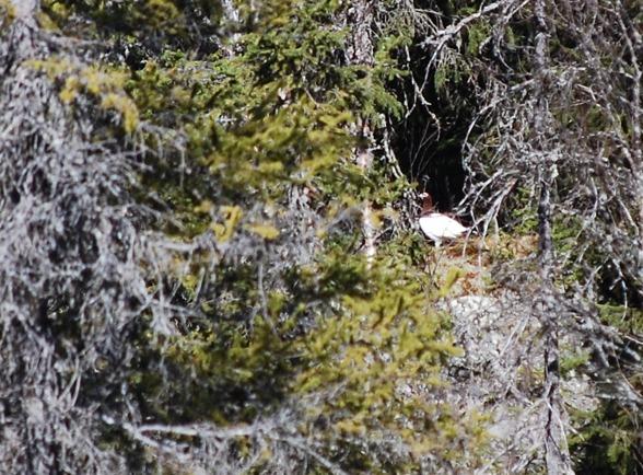 Riporna har dåligt kamoflage när snön smälter för snabbt...