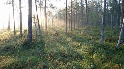 God morgon i tjäderskogen