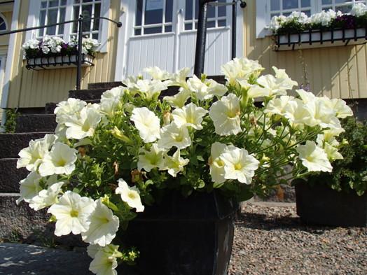 Petunia i full blom