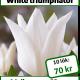 White triumphator, 10 lökar